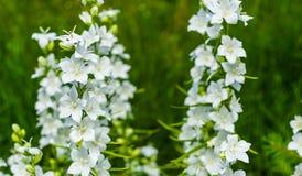 Plan rapproché blanc de fleurs de cloche (persicifolia de campanule), s'élevant dans le jardin sur le fond vert brouillé Cloche d image libre de droits