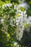 Plan rapproché blanc de floraison d'acacia de fleurs parfumées Images libres de droits