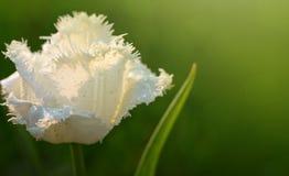 Plan rapproché blanc de tulipe Images libres de droits
