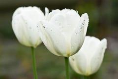 Plan rapproché blanc de tulipes Photographie stock