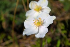 Plan rapproché blanc de wildflowers Photographie stock