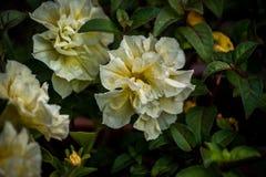 Plan rapproché blanc et jaune de fleurs photographie stock