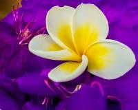 Plan rapproch? blanc et jaune de Frangipani photos stock