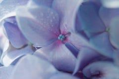 Plan rapproché bleu d'hortensia Photographie stock libre de droits