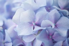 Plan rapproché bleu d'hortensia Photo libre de droits