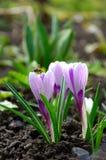 Plan rapproché bleu d'Iridaceae de safran de fleur de source Photos libres de droits