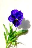 Plan rapproché bleu de fleur images libres de droits