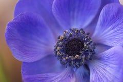 Plan rapproché bleu de fleur d'anémone Photo libre de droits