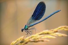 Plan rapproché bleu de libellule sur une branche d'or de blé Photographie stock libre de droits