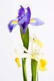 Plan rapproché bleu et fleur blanche d'iris d'isolement Photographie stock
