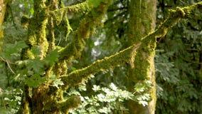 Plan rapproché, branches des arbres couverts de la mousse For?t mystique clips vidéos