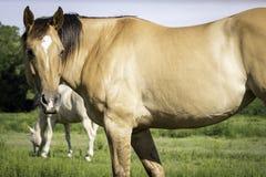 Plan rapproché brun grisâtre de cheval Image stock