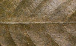 Plan rapproché brun sec de feuille Photo de macro de texture de feuille d'automne Modèle jaune de nervure de feuille Images stock
