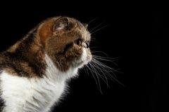 Plan rapproché Cat Looking exotique dans la vue de profil, d'isolement sur le noir photographie stock libre de droits