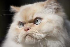Plan rapproché, chat de l'Himalaya Photographie stock