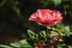 Plan rapproché chinensis de fleur de Rosa Photographie stock