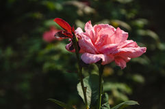 Plan rapproché chinensis de fleur de Rosa Photos stock