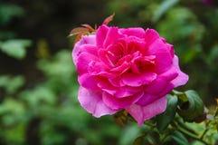 Plan rapproché chinensis de fleur de Rosa Photographie stock libre de droits