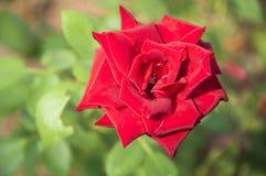 Plan rapproché chinensis de fleur de Rosa Photo stock