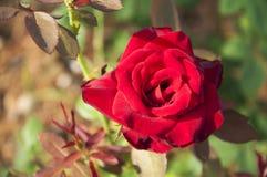 Plan rapproché chinensis de fleur de Rosa Images libres de droits