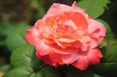 Plan rapproché chinensis de fleur de Rosa Photos libres de droits