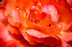 Plan rapproché chinensis de fleur de Rosa Images stock