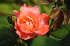 Plan rapproché chinensis de fleur de Rosa Photo libre de droits