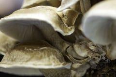 Plan rapproché comestible de champignon Photo stock