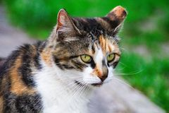 Plan rapproché commun de chat photographie stock libre de droits