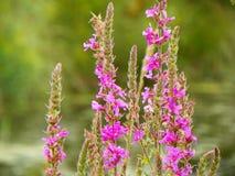 Plan rapproché commun de salicaire de beau, envahissant wildflower Photo stock