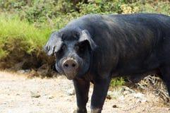 Plan rapproché cosican sauvage noir de porc Images libres de droits
