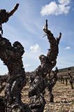 Plan rapproché courant de vigne photos libres de droits