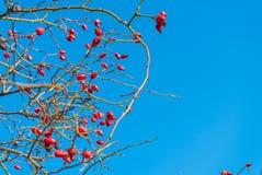 Plan rapproché détaillé des branches avec les roses de floraison Photos libres de droits