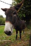 Plan rapproché d'âne Photo libre de droits