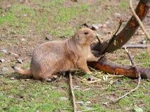 Plan rapproché d'écorce de rongement de chien de prairie Images libres de droits