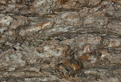 Plan rapproché d'écorce rugueuse sèche de vieil arbre comme contexte de fond ou Photo libre de droits