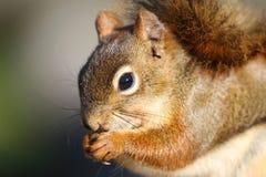 Plan rapproché d'écureuil Images libres de droits