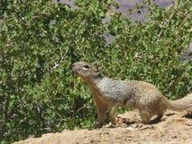 Plan rapproché d'écureuil Photos stock