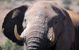 Plan rapproché d'éléphant Images libres de droits