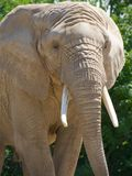 Plan rapproché d'éléphant africain Photo stock