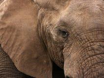 Plan rapproché d'éléphant africain Images stock