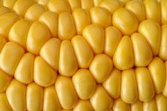 Plan rapproché d'épi de maïs Photos stock
