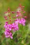 Plan rapproché d'épilobe en pleine floraison Image stock