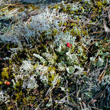 Plan rapproché d'étage de forêt avec le lichen rouge de cuvette de lutin Images stock