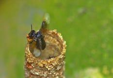 Plan rapproché d'abeille image stock