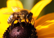 Plan rapproché d'abeille images libres de droits