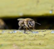 Plan rapproché d'abeille de miel à l'entrée à la ruche Photos libres de droits