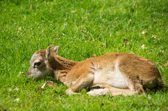 Plan rapproché d'agneau de Heidschnucke images stock