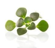 Plan rapproché d'aichryson de plante d'intérieur de brin d'isolement sur le blanc Images libres de droits