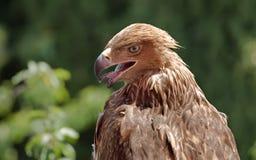 Plan rapproché d'aigle Photo stock